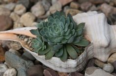 A tiny shell planter for a tiny succulent. This can work inside or out.