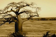 A baobab at the border of Botswana & Namibia - been there
