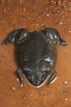 Pipa snethlageae--Utinga Surinam Toad