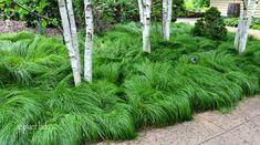 Silk Tassel Grass | Dormitor quaking sedge