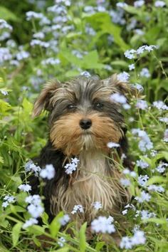 Cute Yorkie enjoying the garden ? too cute Beautiful Dogs, Animals Beautiful, Cute Animals, Cute Puppies, Cute Dogs, Dogs And Puppies, Yorkies, Yorkshire Terrier, What Dogs