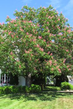 Red Buckeye Tree...attracts to hummingbirds