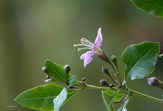 Boksdoorn (Lycium barbarum). Gojibes.