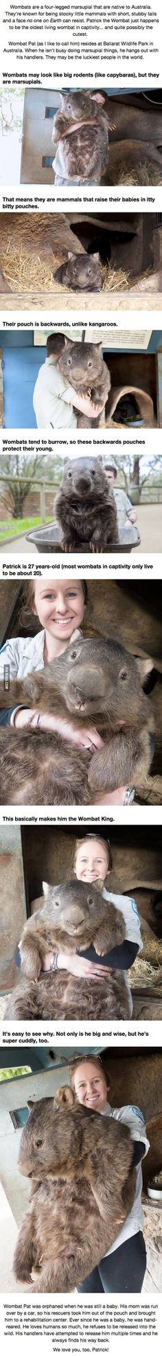 Totoro, is that you?? || You're Going To Fall In Love With Patrick, The Oldest Living Wombat.