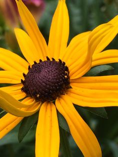 25aa3b1be6d9 8 best rudbeckia goldsturm images on Pinterest