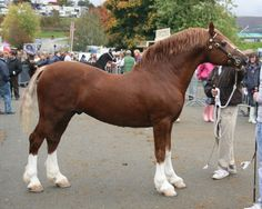 Abborfield Prince Michael, either Welsh C or D stallion