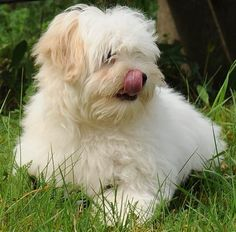 Coton De Tulear. My dog,lilly, is a coton de tulear! She is my silly willie,but I love her very much!