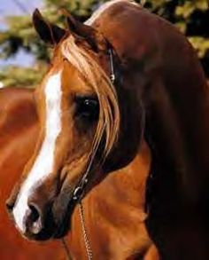 PADRON (Patron x Odessa, by Bright Wings) 1977 chestnut stallion; exported to the USA 1978. Grandsire of 1998 US National Champion Stallion MAGNUM PSYCHE 1982 US National Champion Stallion Grandsire of National Champions FS Mystique Lady, JBK Mystic Fawn, & Magnum Psyche