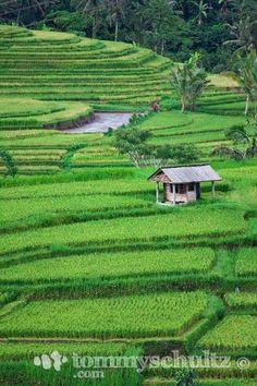 Bali, Indonesia. Rice Fields