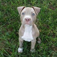 Not a fan if Pitbulls but this pup is really cute.