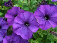 Tried & True Petunia SunPassion Deep Blue