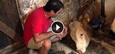 This Abused Bull Has Been Chained His Whole Life. Watch His Reaction When He's Finally Freed Bandit the bull has never known a life outside of chains but then this man in the red came to the rescue. Tape Measure Tricks, Fairy Jars, Now Watch, Honey Badger, Stop Animal Cruelty, Faith In Humanity Restored, Roman Blinds, First Time, Animal Rescue