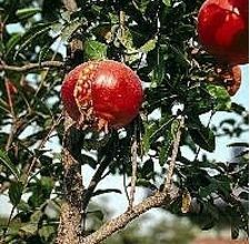 How to Make Pomegranate Plant Cuttings