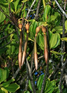 Rhizophora mangle - Red Mangrove, American Mangrove (sprouted fruit seedlings)