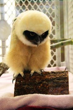 "Spectacled Owlet by tytoalba, via Flick ""ehm, can I have a little bit more log please "" Animals And Pets, Baby Animals, Cute Animals, Wild Animals, Beautiful Owl, Animals Beautiful, Owl Bird, Pet Birds, Nocturnal Birds"