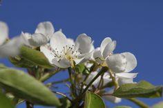 Perenboom in volle bloei