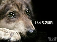 Oppose S. 368, Mexican Wolf Extinction Bill