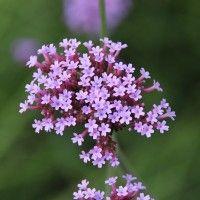 Piperna aromatica coltivazione