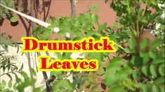 How to Pick and Clean Moringa Leaves (Drumstick Leaves) Saag  - TheGreat...