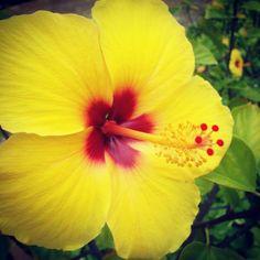 Hawaiian state flower...hibiscus