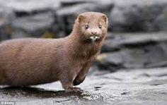 cute mink - Google Search