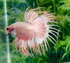 Seahorse Aquarium, Live Aquarium Fish, Cichlids, Betta Fish, Fresh Water, Tropical, Pets, Animals, Beautiful