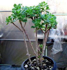 Aeonium spathulatum :: Kaktusy-fabian