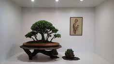 olive bonsai display - Google Search