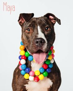 Meet Maya, an adoptable Pit Bull Terrier looking for a forever home. If you're looking for a new pet to adopt or want information on how to get involved with adoptable pets, Petfinder.com is a great resource.