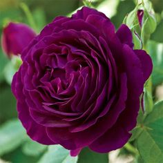 """""""Twilight Zone"""" Grandiflora Rose...would be pretty with lemon peel clematis..."""