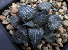 9 Best Black Succulents That Are Incredibly Beautiful! Low Light Succulents, Black Succulents, Types Of Succulents Plants, Colorful Succulents, Propagating Succulents, Cacti And Succulents, Planting Succulents, Cactus Plants, Planting Flowers