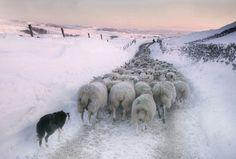 Scottish Border Collie at work.