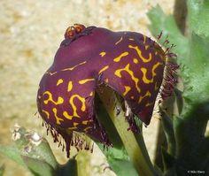 Orbea doldii Strange Flowers, Unusual Flowers, Unusual Plants, Rare Flowers, Rare Plants, Exotic Plants, Cool Plants, Beautiful Flowers, Blooming Succulents