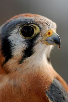 Angus, an American Kestrel at Blue Mountain Wildlife rescue by Scott Butner, via Flickr