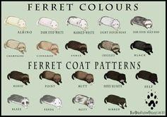 Ferret coats- I have a light silver/roam ferret, named Alaska!