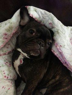 A very Coy French Bulldog Princess.