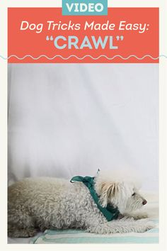 Once your dog knows how to lie down, it's fairly simple to teach them how to crawl. It's entertaining and practical—this trick is especially handy when you're hiking and you both need to stay low.