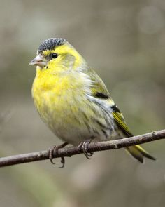 Siskin (male) | by David Wheatley
