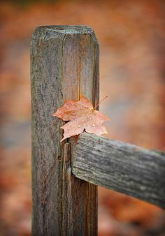 Leaf on fence √