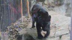 Pantera (Leopardo Negro) Zoológico de Chapultepec