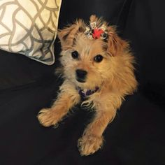 """Lemon Drop a 10 month old teacup yorkiepoo. Lemon Drops mom got in touch with us and requested one of our airplane bows in our """"itty bitty"""" size (since Lemon Drop is only 2lbs!). She was meeting her dad who is an pilot in the army for the first time and wanted to look extra special!! We were so happy we could help with this very special occasion!"""