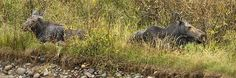 cow-moose-and-calf--grand-tetons-belinda-greb #moosepics #wildlifephotos
