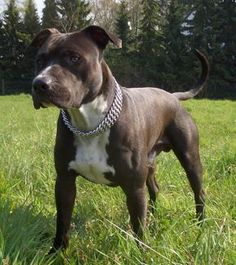 american staffordshire terrier   American Staffordshire Terrier Jack photo and wallpaper. Beautiful ...