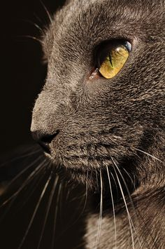 """""""There is not one single quality of a cat that man could not emulate to his advantage."""" --Carl Van Vechten"""