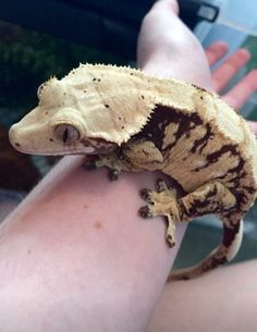 Cute Lizard, Cute Gecko, Cute Reptiles, Reptiles And Amphibians, Small Animals, Cute Baby Animals, Lizards, Snakes, Crested Gecko Care