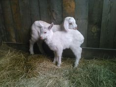 How to save a ton of money with a dairy goat and recipes to use with goat milk