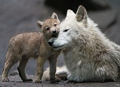 Wolf mother and pup.