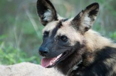 Wild Dog Photo by Cindee B. -- National Geographic Your Shot