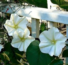 Imagine a white blossom the size of saucer that blooms at night, perfumes your garden, glows in the moonlight and closes at dawn. If you're patient, you can watch them unfurl right before your eyes. M                                                                                                                                                                                 More