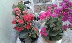 My kalanchoe collection